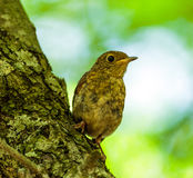 Juvenile blackbird in the forest Royalty Free Stock Photo