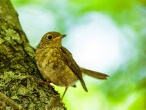 Juvenile blackbird in the forest Stock Photos