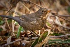Juvenile blackbird on the ground Stock Images