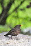 Juvenile Blackbird (Turdus merula) Stock Images