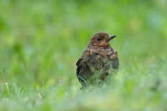 Juvenile Blackbird (Turdus merula) Stock Photo