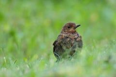 Juvenile Blackbird (Turdus merula). Juvenile Blackbird on the ground with wet green grass Stock Photo