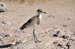 Juvenile Blacksmith Lapwing Royalty Free Stock Photo