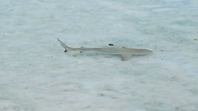Juvenile blacktip reef shark swimming in shallow beach stock video footage