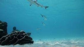 Juvenile blacktip reef sharks schooling at Koh Tao, Thailand stock video