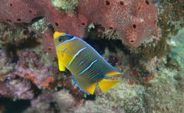 A juvenile Blue Angel Fish Royalty Free Stock Images