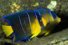 Juvenile Blue Angelfish Royalty Free Stock Photos