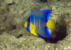 Juvenile Blue Angelfish. Blue Angelfish-Holacanthus bermudensis, picture taken in south east Florida Royalty Free Stock Photography