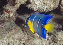 Juvenile Blue Angelfish Royalty Free Stock Images