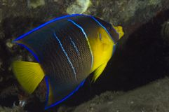 Juvenile Blue Angelfish-Holocanthus bermudensis Stock Photography