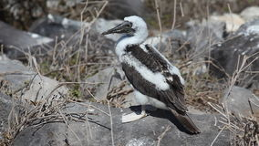 Juvenile Blue-footed Booby, Sula nebouxii, in the Galapagos stock footage