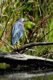 Juvenile blue heron. During early summer Royalty Free Stock Image