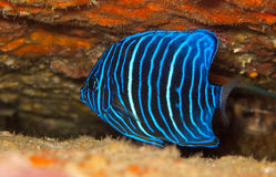 Juvenile blue ring angel fish. Young blue ring angelfish among the rocks Stock Image