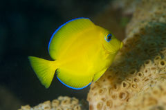 Juvenile Blue Tang. Acanthurus coerulus, picture taken in Broward County Florida Stock Photos