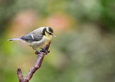 Juvenile Blue Tit Stock Photography