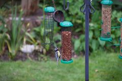 Juvenile blue tit sitting on a peanut feeder royalty free stock photos