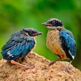 Juvenile Blue-winged Pitta stock photo