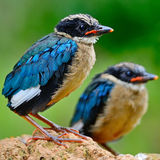 Juvenile Blue-winged Pitta Stock Photos