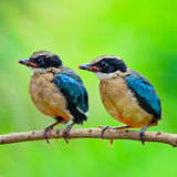Juvenile Blue-winged Pitta Royalty Free Stock Photo