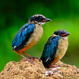 Juvenile Blue-winged Pitta Stock Photography