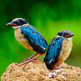 Juvenile Blue-winged Pitta Royalty Free Stock Images