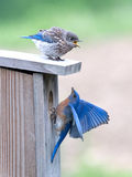 Juvenile Bluebird yells at parent Royalty Free Stock Images