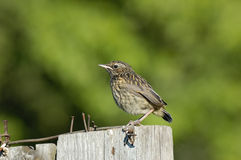 Juvenile Bluethroat at the fence Stock Photography