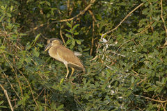 Juvenile Boat-billed Heron Framed by Bush. A brownish colored juvenile Boat-billed Heron perching on some leafy vines is framed by the jungle around it royalty free stock photos