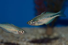 Juvenile Boesemani Rainbow. The Boesemani Rainbow creates a colorful centerpiece for any freshwater home aquarium. Males have a beautiful bluish purple head that Stock Photography