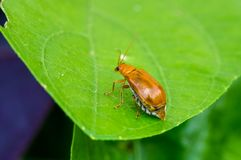 Juvenile bombardier beetle Royalty Free Stock Image
