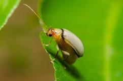Juvenile bombardier beetle Royalty Free Stock Photos