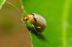 Juvenile bombardier beetle Stock Photography