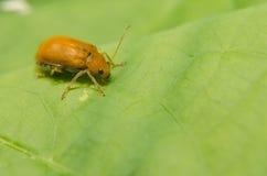 Juvenile bombardier beetle Stock Image