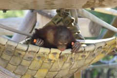 A juvenile Bornean Orangutan Pongo pygmaeus. At a local zoo Royalty Free Stock Image