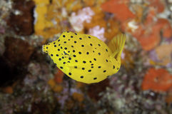 Juvenile Boxfish Royalty Free Stock Photos