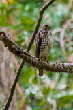 Juvenile Broad-winged Hawk Royalty Free Stock Photos