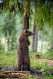 The juvenile brown bear standing on hinder legs. Ursus Arctos Brown Bear royalty free stock image