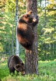 Juvenile Brown bears. (Ursus Arctos Arctos) climb on the tree in the summer forest. Natural green Background Royalty Free Stock Photography
