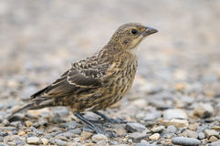 Juvenile Brown-headed Cowbird (Molothrus ater) Stock Photo