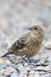Juvenile Brown-headed Cowbird (Molothrus ater) Stock Images