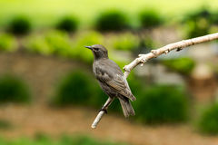 Juvenile Brown-headed Cowbird Royalty Free Stock Photography