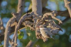 Juvenile Brown Hooded Kingfisher Stock Image