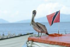 Juvenile Brown Pelican stock images