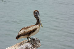 Juvenile Brown Pelican (Pelecanus occidentalis). In Galveston Bay Stock Image