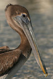 Juvenile Brown Pelican Stock Photography