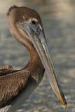 Juvenile Brown Pelican. A portrait of a juvenile Brown Pelican along the Atlantic Ocean in Florida Stock Photography