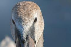 Juvenile brown swan portrait close up, Mute swan Cygnus olor. Wildlife stock photography