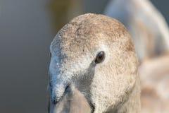 Juvenile brown swan portrait close up, Mute swan Cygnus olor. Wildlife royalty free stock image