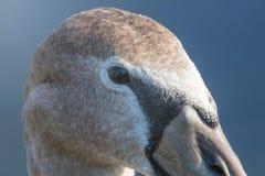 Juvenile brown swan portrait close up, Mute swan Cygnus olor. Wildlife royalty free stock photography