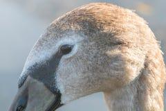 Juvenile brown swan portrait close up, Mute swan Cygnus olor. Wildlife royalty free stock photos